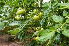Le piante di pomodori con la maturazione fruttifica nella serra del ` s dell'agricoltore Immagini Stock