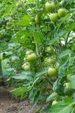 Le piante di pomodori con la maturazione fruttifica nella serra del ` s dell'agricoltore Fotografia Stock Libera da Diritti