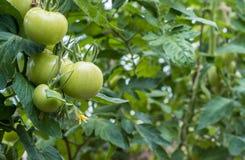 Le piante di pomodori con la maturazione fruttifica nella serra del ` s dell'agricoltore Immagini Stock Libere da Diritti