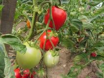 Le piante di pomodori rosse in una casa hanno fatto l'orto Fotografia Stock Libera da Diritti
