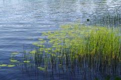 Le piante e la pianta acquatica sull'acqua blu del lago sorgono Immagini Stock Libere da Diritti
