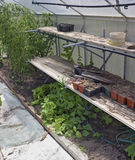 Le piante muoiono di una carestia senza acqua Fotografia Stock Libera da Diritti