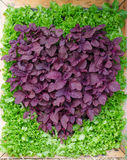 Le piante ornamentali è forma del cuore. Fotografia Stock Libera da Diritti