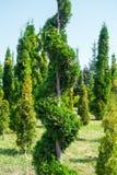 Le piante ornamentali hanno tagliato con l'ars topiaria o la forma tortuosa Tui fotografia stock libera da diritti