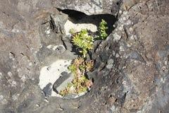 Le piante si accoccolano fra le rocce Immagine Stock Libera da Diritti
