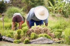 Le piantine asiatiche del riso del trapianto dell'agricoltore in riso sistemano, agricoltore che pianta il riso nel seaso piovoso Immagini Stock