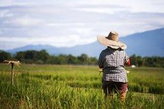 Le piantine asiatiche del riso del trapianto dell'agricoltore in riso sistemano, agricoltore che pianta il riso nella stagione de Fotografie Stock Libere da Diritti