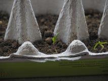 Le piantine coltivano il cartone dell'uovo fotografia stock libera da diritti