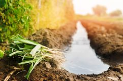 Le piantine dei porri sono pronte per la piantatura nel campo Agricoltura, verdure, prodotti agricoli organici, agroindustria fotografia stock