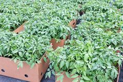 Le piantine del pomodoro, aspettano per il trasporto, giovane fogliame del pomodoro Fotografia Stock