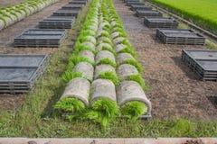 Le piantine della bobina in preparazione di trasporto al raccolto seguente nel campo Immagine Stock Libera da Diritti