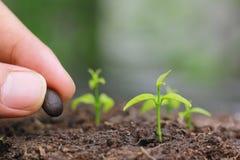 Le piantine si sviluppano dalla terra e dalla mano che piantano un seme nell'agricoltura del suolo su fondo verde naturale, colti immagini stock