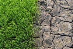 Le piantine verdi del riso ed il suolo asciutto è spaccatura fotografie stock