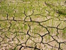 Le piantine verdi del risone ed il suolo asciutto è spaccatura Fotografia Stock