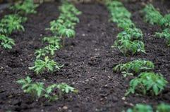 Le piantine verdi germoglia nel giardino Immagine Stock Libera da Diritti