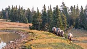 Le piccole bande dei greggi dei cavalli selvaggii sul pendio di collina nel cavallo selvaggio delle montagne di Pryor variano nel Fotografia Stock