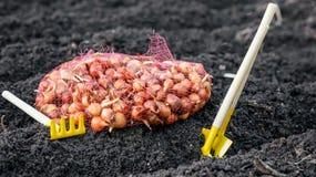 Le piccole cipolle per la piantatura si trova nella griglia sul suolo molle pronto accanto agli strumenti, alle pale ed ai rastre fotografia stock libera da diritti