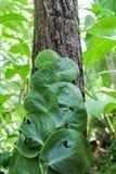 Le piccole foglie piantano la scalata sull'albero in foresta Immagini Stock