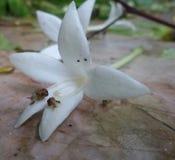 Le piccole lumache godono di di mangiare i pedali del fiore bianco Immagine Stock