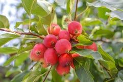 Le piccole mele fruttifica sui rami di di melo Fotografie Stock Libere da Diritti