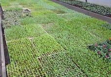 Le piccole piante da frutto germoglia in grande serra Fotografie Stock