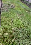 Le piccole piante da frutto germoglia in grande serra Fotografia Stock