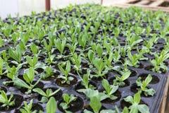 Le piccole piante di lisianthus si sviluppano dentro la serra Fotografie Stock Libere da Diritti