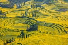 Le pied de camp de banlieue noire de Niujie du comté de Yunnan Luoping visse la fleur en terrasse de canola Image stock