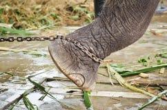 Le pied de l'éléphant attaché à une chaîne Image libre de droits