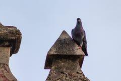 Le pigeon était perché sur une chapelle au parc de pigeon photographie stock libre de droits