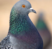 Le pigeon Photographie stock