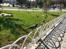 Le pigeon 2 Image libre de droits