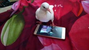 Le pigeon avec des images drôles mobiles dans le mon gurden des moments drôles Images libres de droits