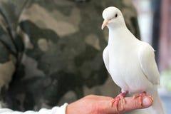 Le pigeon blanc d'oiseau de colombe se tient sur la main du ` s des hommes Images libres de droits