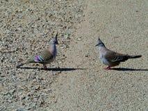 Le pigeon crêté images stock