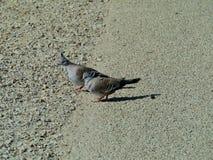 Le pigeon crêté photographie stock libre de droits