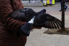 Le pigeon décolle de la main du ` s de femme Photos stock