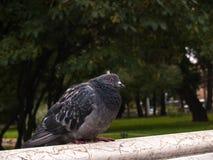 Le pigeon d'oiseau seul se repose au dos d'un banc de parc en automne à l'arrière images stock