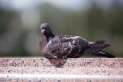 Le pigeon dans la ville sur la balustrade de marbre image stock