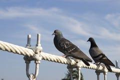Le pigeon deux a descendu sur le pont de câble métallique Photos libres de droits