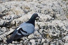 Le pigeon gris seul images libres de droits