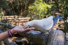 Le pigeon impérial pie Ducula bicolore se tient sur le Fe en bois photographie stock