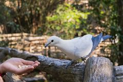 Le pigeon impérial pie Ducula bicolore se tient sur le Fe en bois image stock