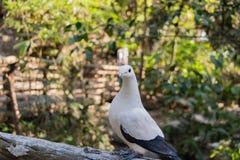 Le pigeon impérial pie Ducula bicolore se tient sur le Fe en bois photos stock