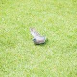 Le pigeon jouant la baisse de l'eau du sauteur pour refroidissent pendant l'après-midi sur le plancher d'herbe en parc public Photos libres de droits