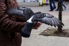 Le pigeon mange de sa main le grain Photo libre de droits