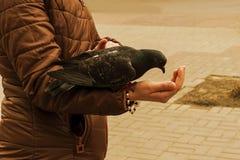Le pigeon mange de sa main le grain Image libre de droits