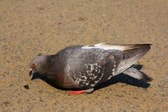 Le pigeon mange des graines Photographie stock
