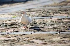 Le pigeon marche au coucher du soleil sur une place principale publique images libres de droits