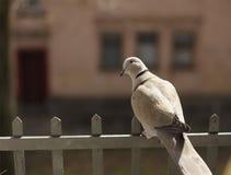 Le pigeon se repose sur la barrière sur la fenêtre Photographie stock